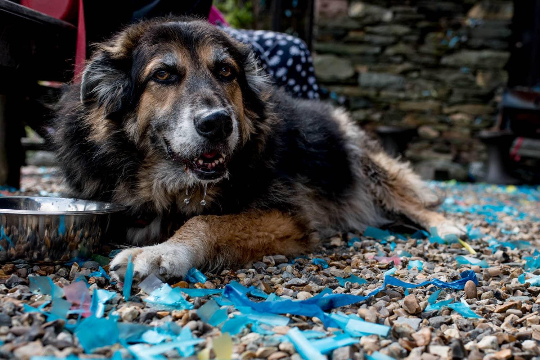 Dog lying in blue confetti