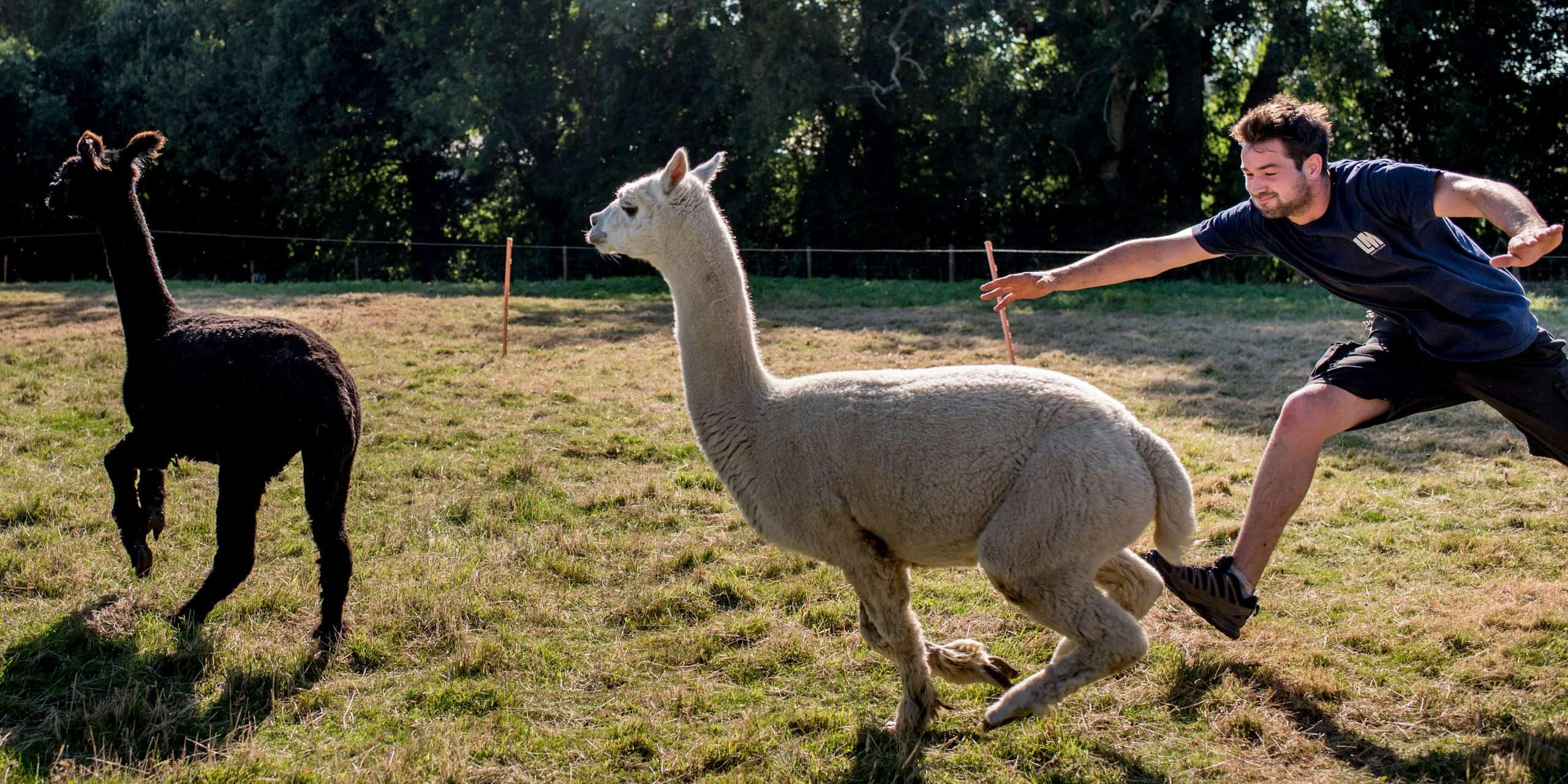 llamas escaping their paddock at this fun garden wedding in sussex