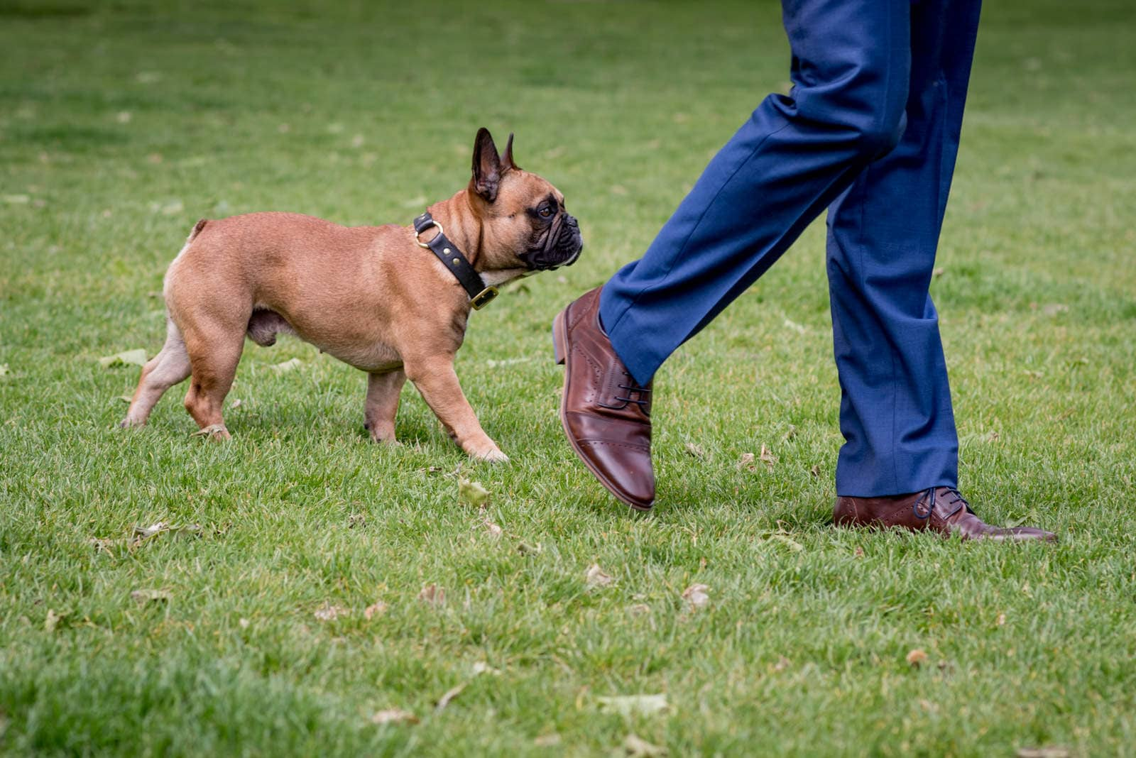 Small dog walking next to groom wearing a blue suit