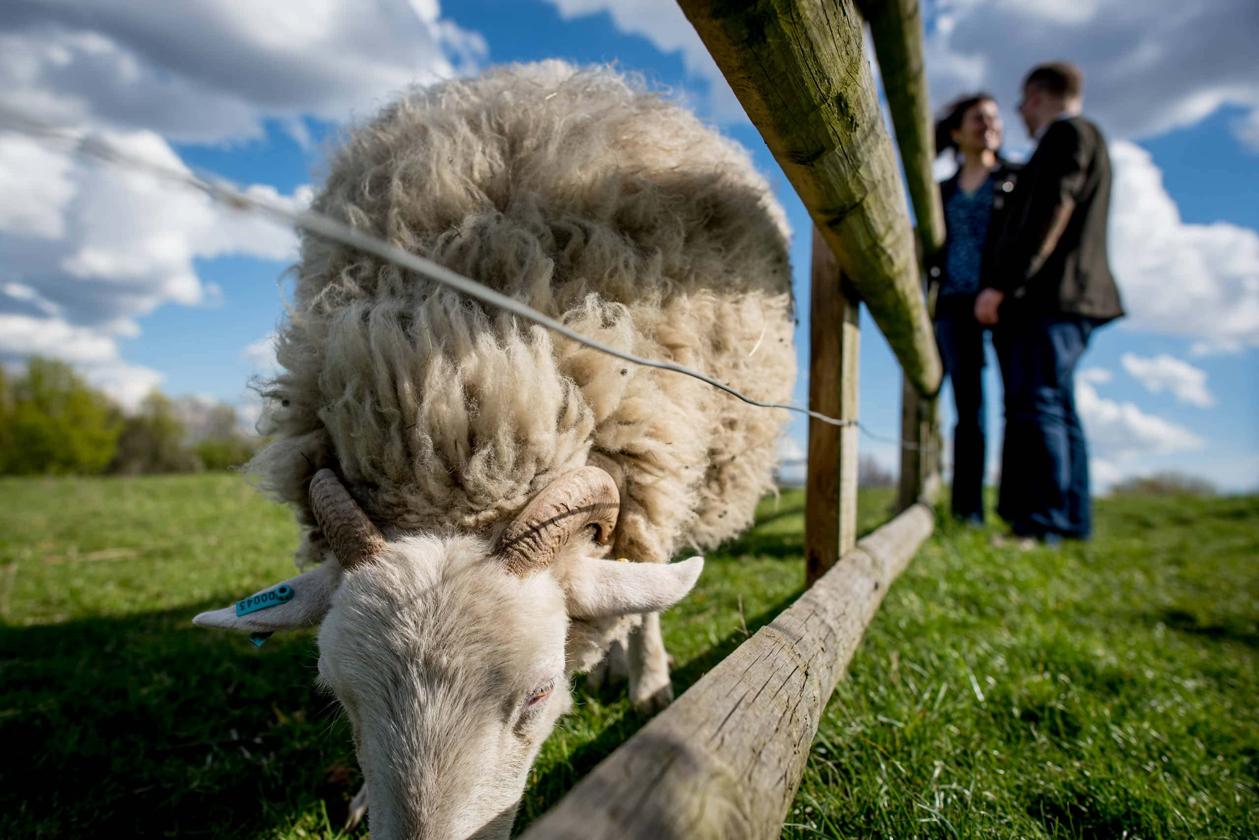 Sheep and couple at their Mudchute Farm engagement photos shoot in London