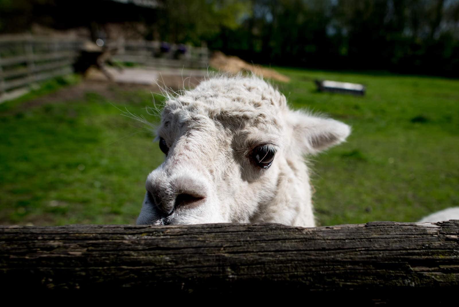 Llama at Mudchute Farm