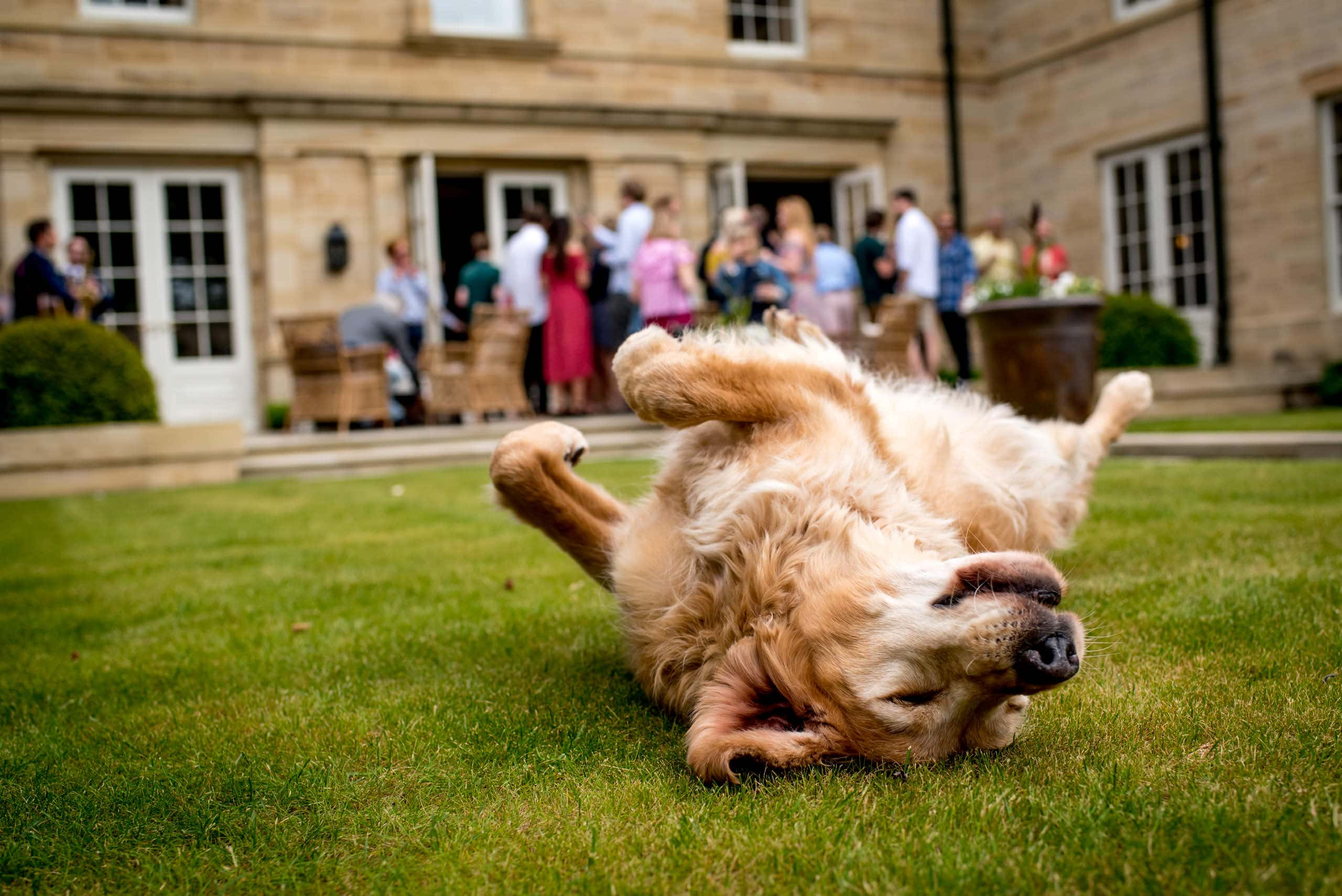 Golden Labrador rolling on his back in the garden