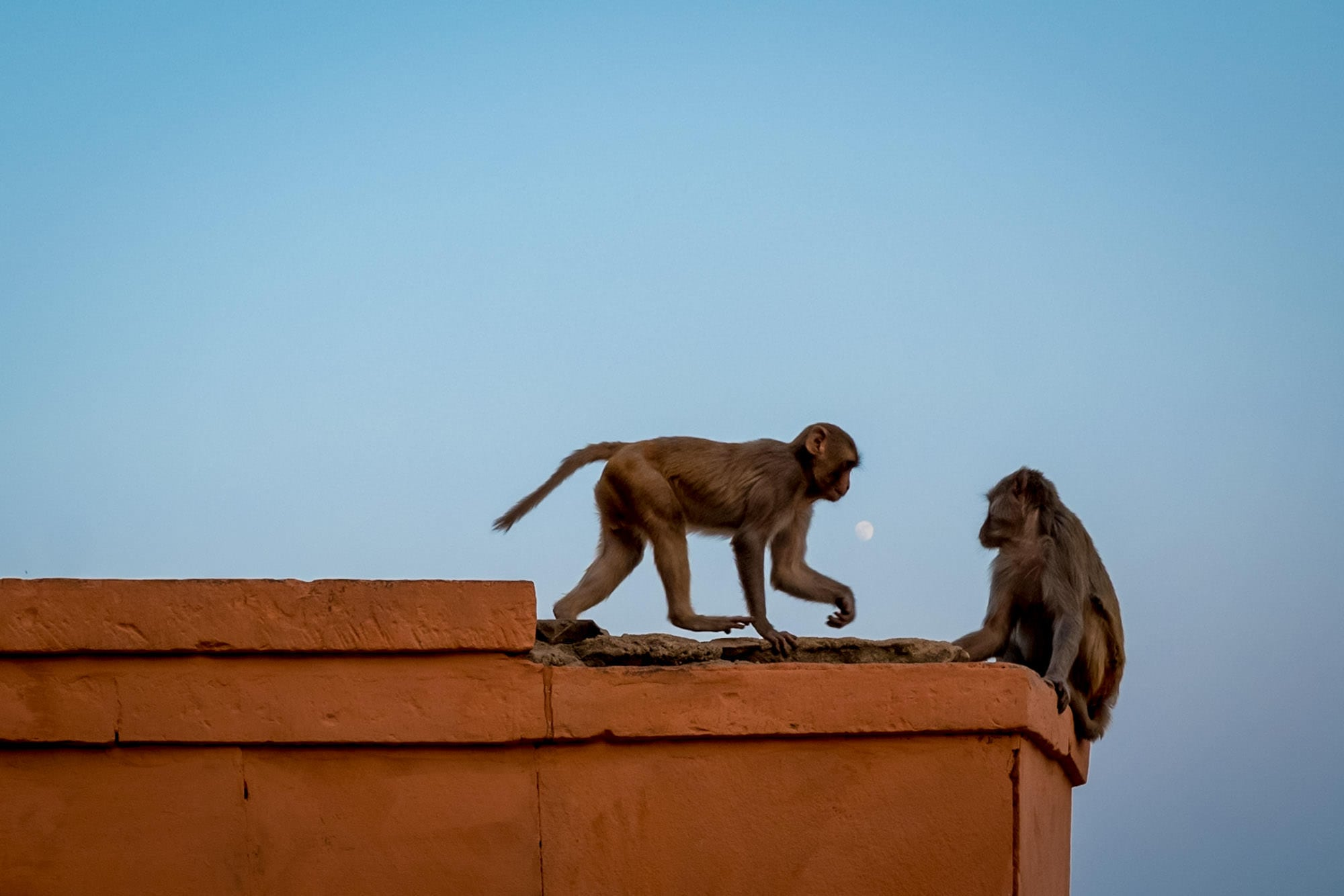 monkeys playing in Indian streets against blue sky and the moon
